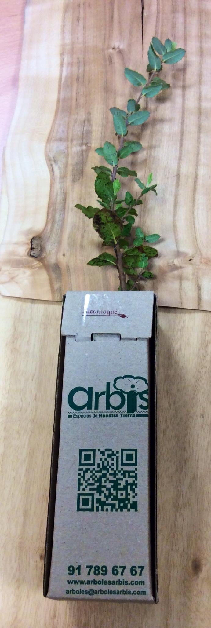Alcornoque en cajita ARBIS